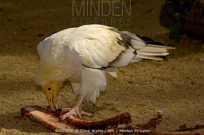 Egyptian Vulture (Neophron percnopterus) feeding on carcass France  -  Dave Watts/ npl