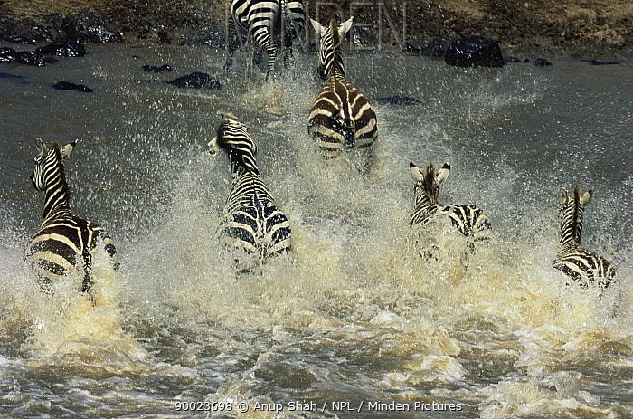 Common zebra crossing river (Equus burchelli) Masai Mara reserve, Kenya  -  Anup Shah/ npl