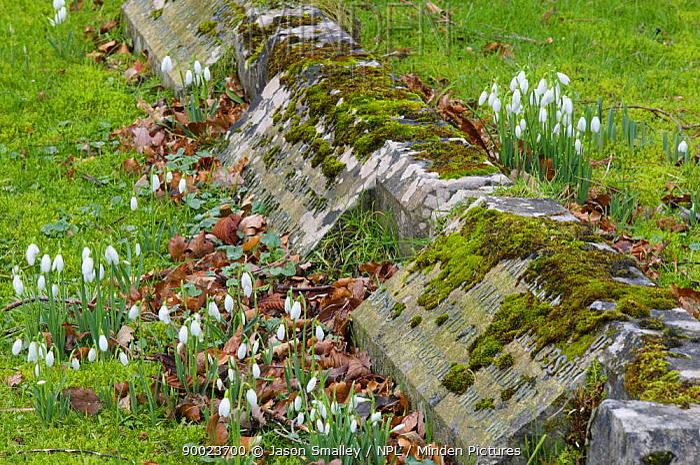 Snowdrop (Galanthus nivalis) flowering in churchyard, United Kingdom  -  Jason Smalley/ npl