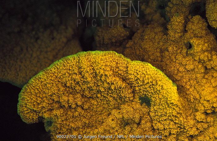 Chalice coral (Montipora sp) fluorescent under UV light, Papua New Guinea  -  Jurgen Freund/ npl