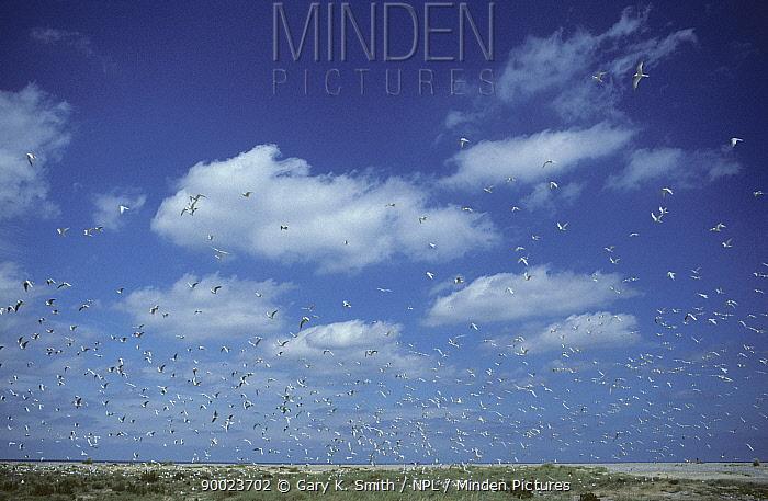 Sandwich Tern (Sterna, Thalasseus sandvicensis) colony, Blakeney Point, Norfolk, UK  -  Gary K. Smith/ npl