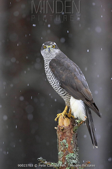 Northern Goshawk (Accipiter gentilis) perched in pine forest in snow, captive, Cairngorms National Park, Scotland United Kingdom  -  Pete Cairns/ npl