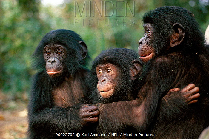 Bonobo (Pan paniscus) young grooming in sanctuary, Central Africa  -  Karl Ammann/ npl
