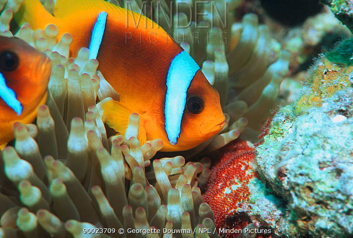 Two-banded Anemonefish (Amphiprion bicinctus) guards egg patch on rock next to host anemone Egypt, Red Sea  -  Georgette Douwma/ npl