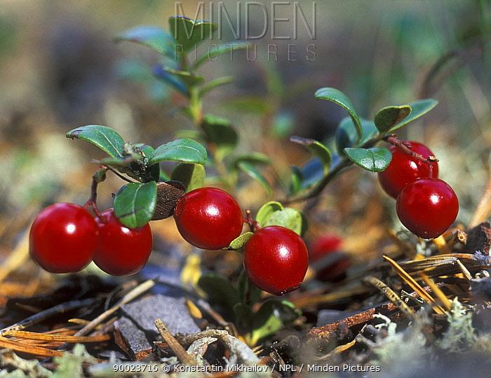 Cowberry berries (Vaccinium vitis-ideae), autumn, Siberia, Russia  -  Konstantin Mikhailov/ npl