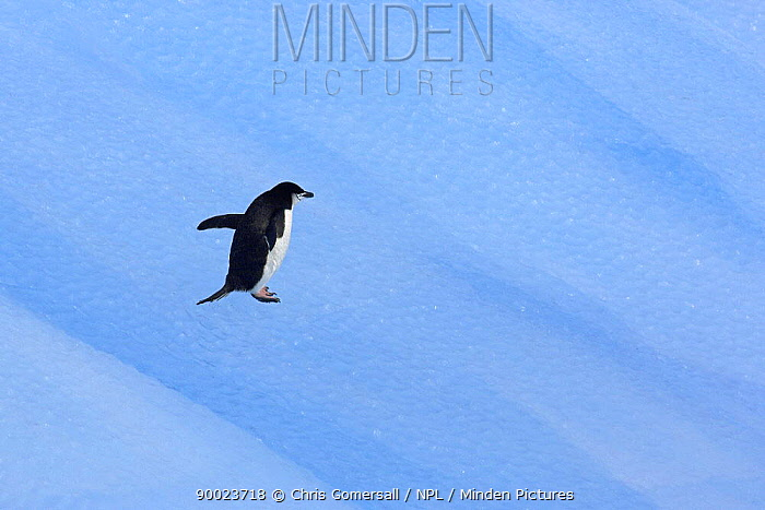 Chinstrap Penguin (Pygoscelis antarctica) on blue iceberg South Orkney Isles, Antarctica  -  Chris Gomersall/ npl