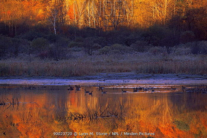 Freshwater wetland landscape with Canada geese in autumn, New York, USA  -  Lynn M. Stone/ npl