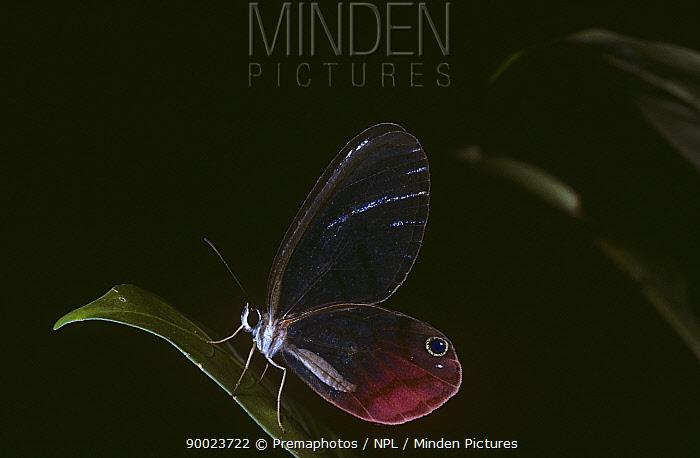 Pink-tipped satyr butterfly (Cithaerias pireta) in rainforest, Costa Rica  -  Premaphotos/ npl