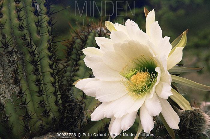 Cactus (Trichocereus sp) flower, Bolivia  -  Pete Oxford/ npl