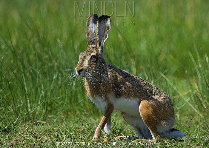 European Hare (Lepus europaeus) in meadow, Evora, Portugal  -  Roger Powell/ npl