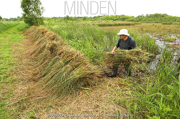 Saw Sedge (Gahnia radula) being stacked after cutting, to be used for capping thatched roofs, Norfolk Broads, UK, June  -  Gary K. Smith/ npl