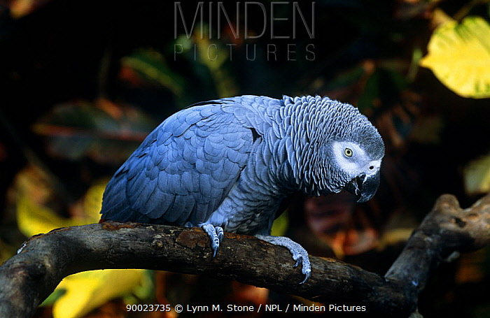African Grey Parrot (Psittacus erithacus) on branch,  -  Lynn M. Stone/ npl