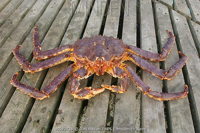 Giant red king crab (Paralithodes camtschaticus) on decking, Kirkiness, Norway  -  Dan Burton/ npl