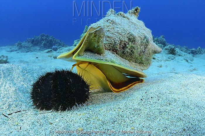 Horned helmet shell (Cassis cornuta) probes a Collector urchin or hawa e maoli (Tripneustes gratilla) and rises up to pounce on it, Honokohau, Kona, Big Island, Hawaii, Central Pacific Ocean  -  Doug Perrine/ npl