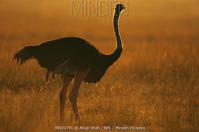 Ostrich (Struthio camelus) backlit at dawn, East Africa  -  Anup Shah/ npl