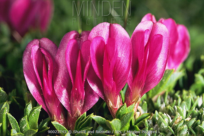 Alpine clover (Trifolium dasyphyllum) flowering on alpine tundra, Colorado, USA  -  Shattil & Rozinski/ npl