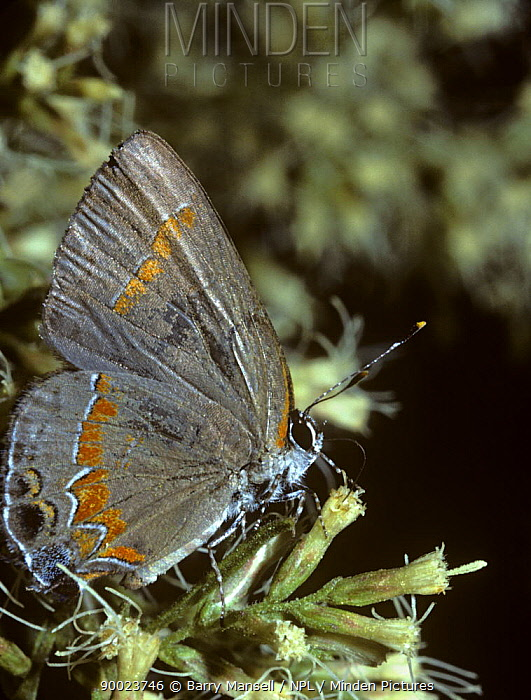 Red banded hairstreak butterfly (Calycopis cecrops) feeding from flower, Florida, USA  -  Barry Mansell/ npl