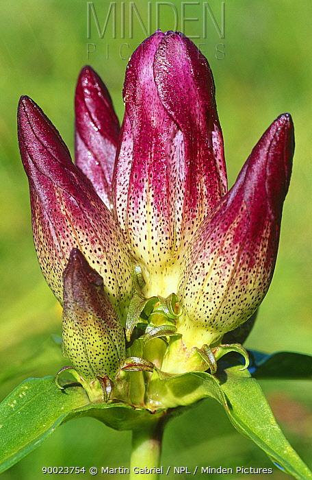 Close up of flower of Samaua gentian (Gentiana pannonica) Alps, Germany  -  Martin Gabriel/ npl