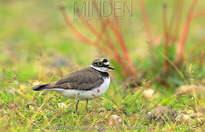 Little Ringed Plover (Charadrius dubius) Lorraine, France  -  Michel Poinsignon/ npl