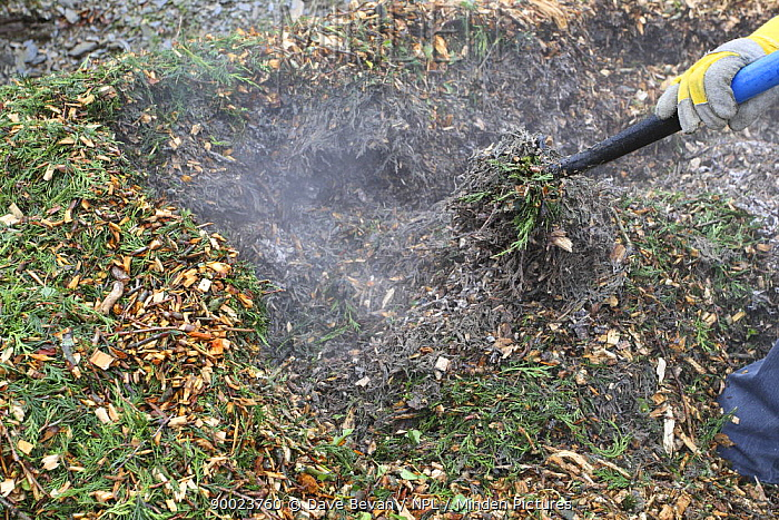 Turning a compost heap for comercially chipped tree branches, UK  -  Dave Bevan/ npl