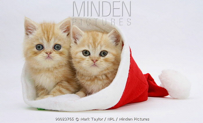 Domestic Cat (Felis catus) two Ginger kittens in a Father Christmas hat  -  Mark Taylor/ npl