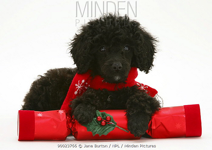 Black Miniature Poodle with red scarf and Christmas cracker  -  Jane Burton/ npl