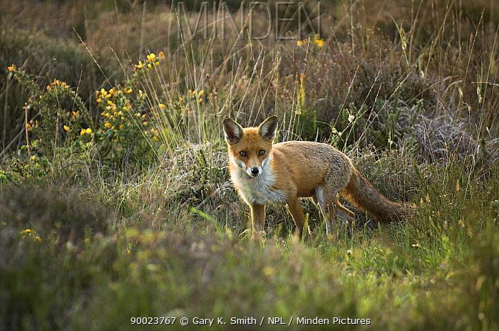 Red Fox (Vulpes vulpes) vixen hunting on lowland heathland, Dorset, United Kingdom  -  Gary K. Smith/ npl