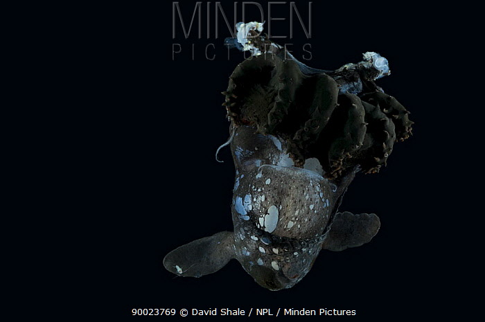 Deep sea squid (Vampyroteuthis sp) from Mid-Atlantic Ridge, caught at night, depth 400, 500m  -  David Shale/ npl