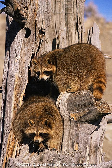 Raccoon (Procyon lotor)  -  David Welling/ npl