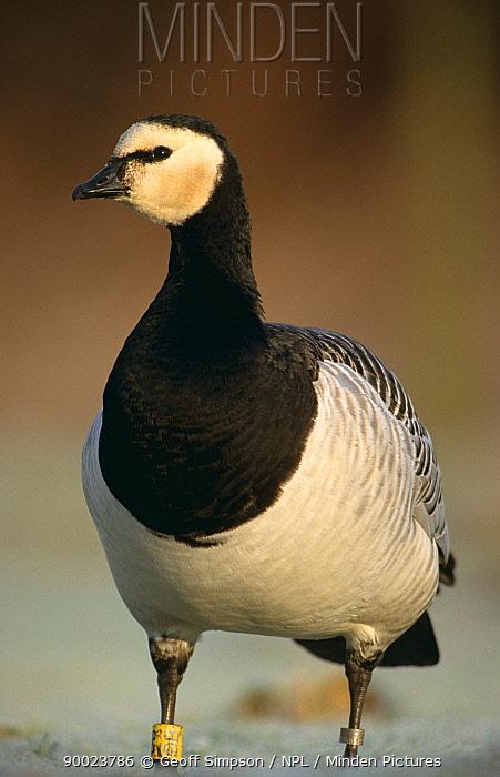 Barnacle Goose (Branta leucopsis) tagged, Solway Firth, Cumbria, United Kingdom  -  Geoff Simpson/ npl