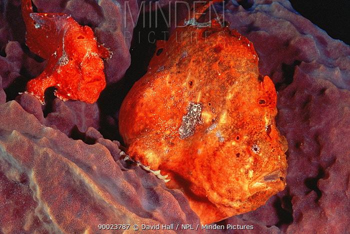 Longlure frogfish (Antennarius multiocellatus) camouflaged in sponge Dominica, West-Indies  -  David Hall/ npl