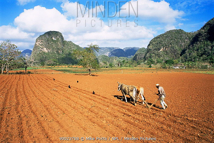 Ploughing Tobacco field with oxen, Vinales valley, Cuba  -  Mike Potts/ npl