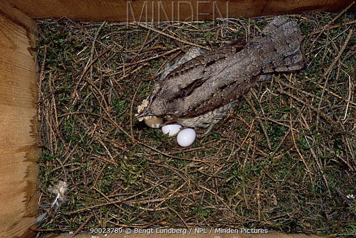 Eurasian Wryneck (Jynx torquilla) adult sitting on eggs in nestbox Sequence 2, 8 United Kingdom  -  Bengt Lundberg/ npl