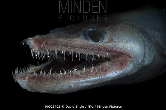 Bathypelagic Lizard fish (Bathysaurus ferox), deep sea Atlantic ocean  -  David Shale/ npl