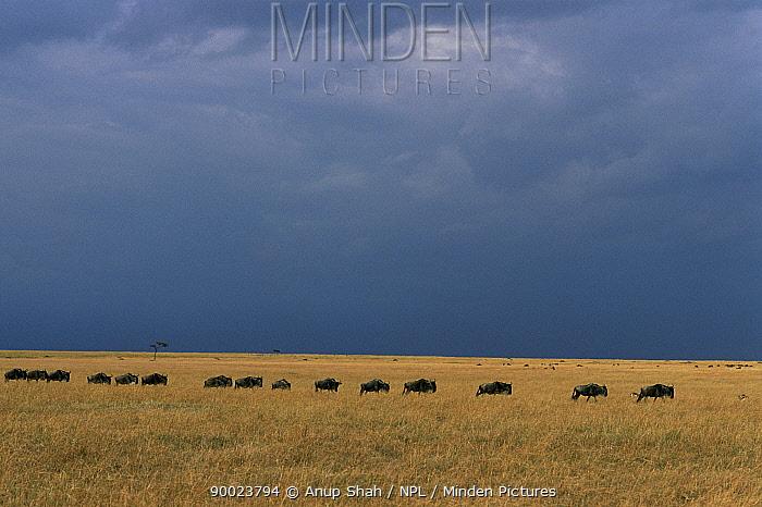 Blue Wildebeest (Connochaetes taurinus) walking in file under stormy sky, Masai mara reserve, Kenya  -  Anup Shah/ npl