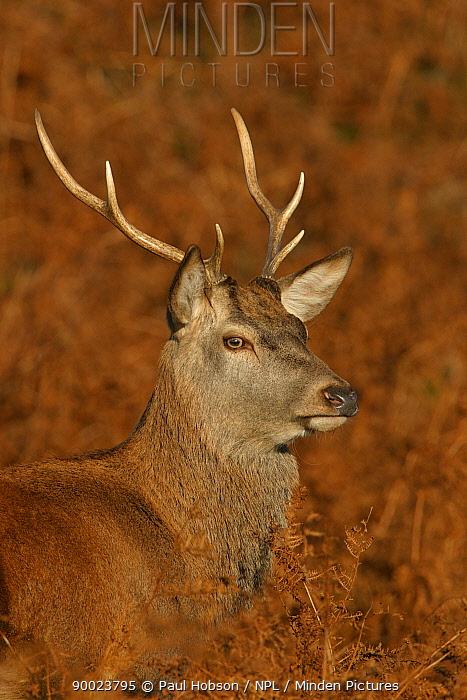Red Deer (Cervus elaphus) young stag in bracken, autumn, Leics UK  -  Paul Hobson/ npl