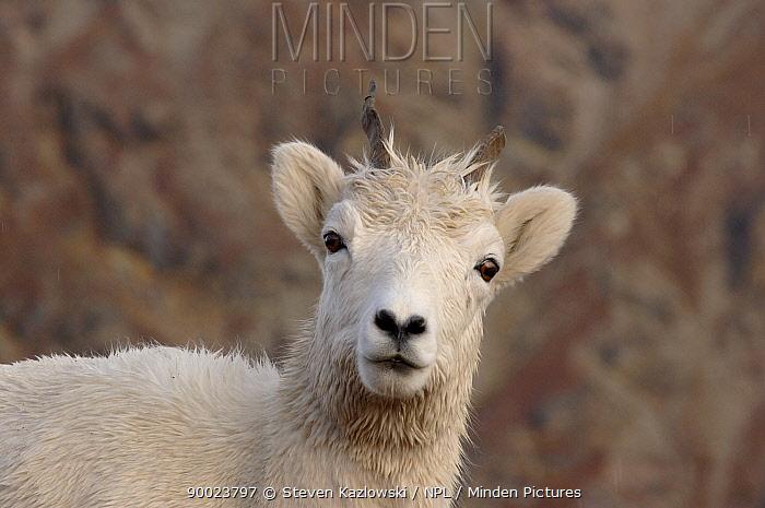 Dall's Sheep (Ovis dalli) portrait, Denali National Park, Alaska One horn broken  -  Steven Kazlowski/ npl
