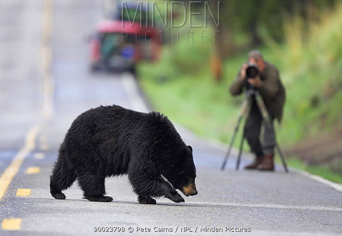 Black Bear (Ursus americanus) crossing road in front of photographer National ParkS rules stipulate that visitors must stay at least 100m distant from bears Yellowstone National Park, Wyoming  -  Pete Cairns/ npl