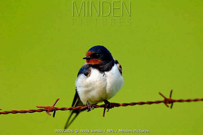 Barn Swallow (Hirundo rustica) perching on rusty barbed wire, North Uist, Outer Hebrides, Scotland  -  Andy Sands/ npl
