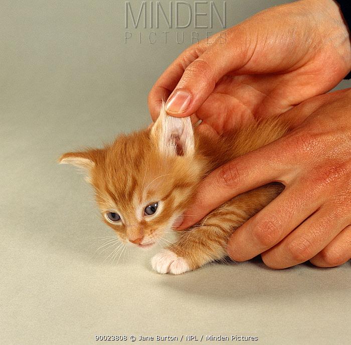 Domestic Cat (Felis catus) 28-days, handler checking for wax and Ear mites  -  Jane Burton/ npl