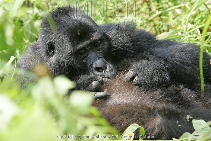 Mountain Gorilla (Gorilla gorilla berengei) adult grooming, Uganda  -  Paul Hobson/ npl