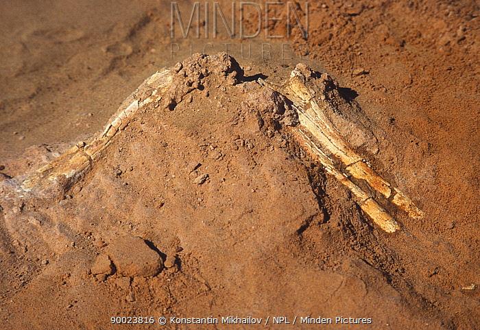 Fossil limb of small dinosaur being dug up in Gobi Desert, Mongolia  -  Konstantin Mikhailov/ npl