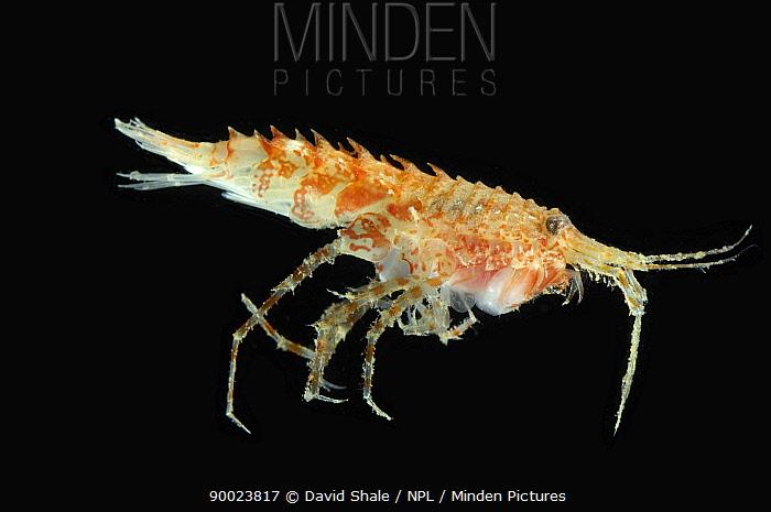 Amphipod (Rhachotropis aculeata) benthic, Barents sea, Northern Europe  -  David Shale/ npl