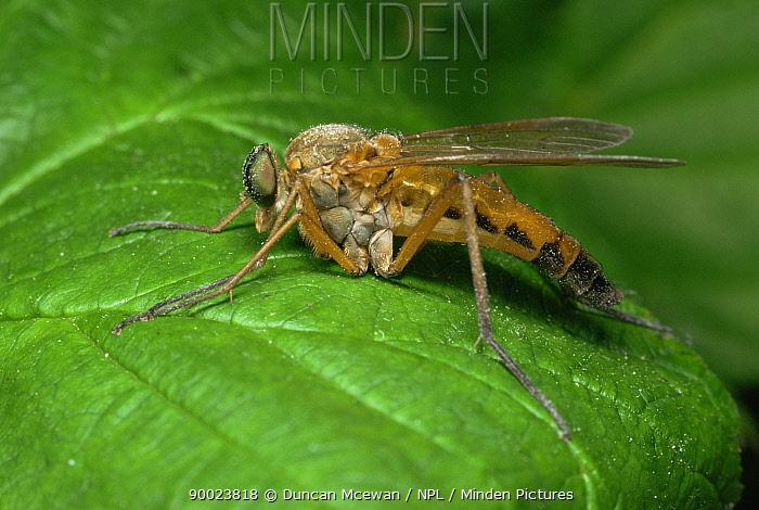 Snipe fly (Rhagio scolopacea) Scotland, UK  -  Duncan McEwan/ npl