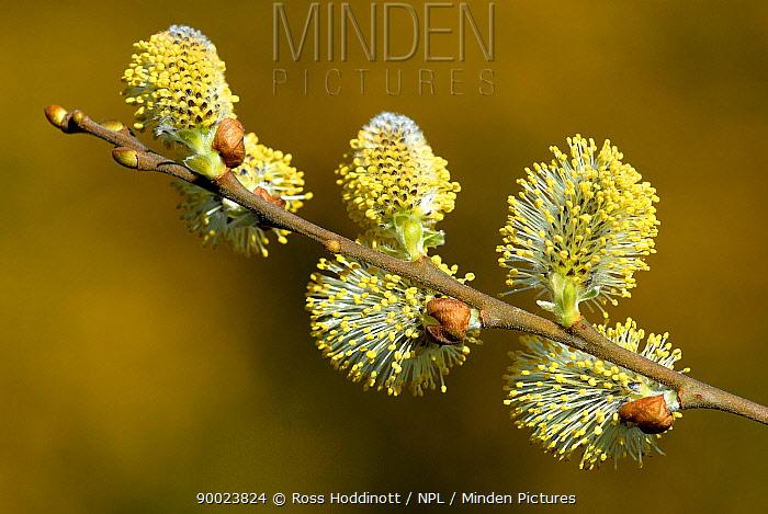Goat Willow (Salix caprea) catkins, North Cornwall United Kingdom  -  Ross Hoddinott/ npl