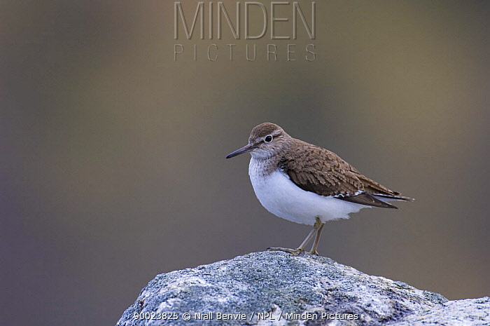 Common Sandpiper (Actitis hypoleucos) perched on a rock,, Songli, Norway  -  Niall Benvie/ npl