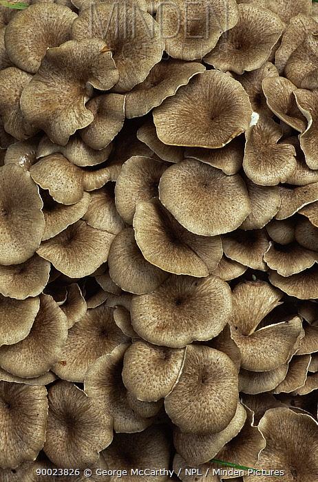 Mass of Umbrella fungus (Grifola umbellata) UK  -  George Mccarthy/ npl