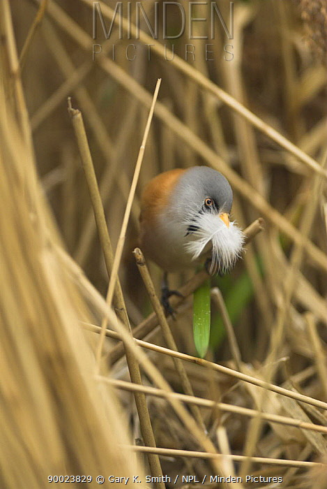 Bearded Tit (Panurus biarmicus) male perching on Phragmites reed with nest materials, Norfolk, United Kingdom  -  Gary K. Smith/ npl