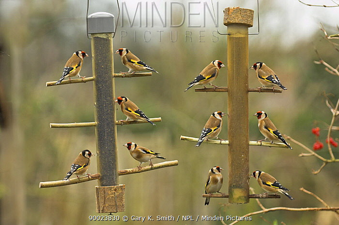 European Goldfinch (Carduelis carduelis) feeding on niger seed on garden feeder, United Kingdom  -  Gary K. Smith/ npl