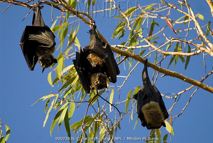 Spectacled Flying Fox (Pteropus conspicillatus) hanging from tree branch, Queensland, Australia  -  Jurgen Freund/ npl